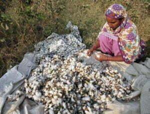 Récolte manuelle de coton en inde