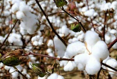champ de fleur de coton
