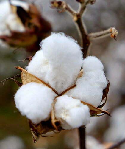 zoom sur une fleur de coton ou capsule de coton